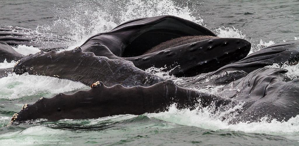 Bubblenet Feeding Humpback Whales (Megaptera novaeangliae)