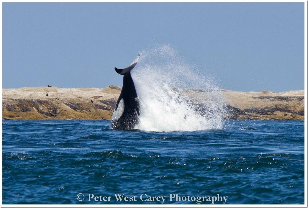 breaching-orca-san-juan-islands