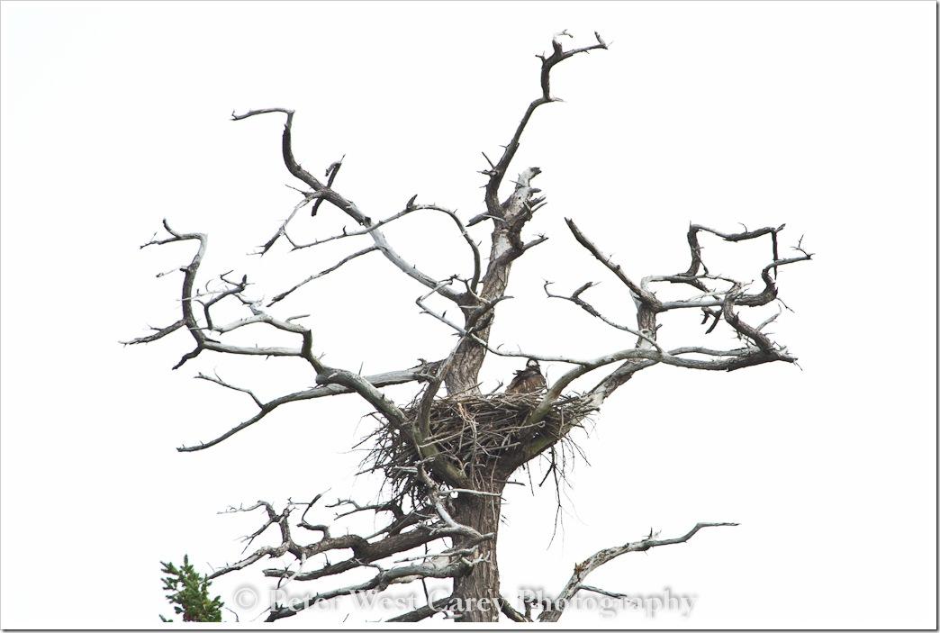 fledgling-eagle-nest-san-juan-islands
