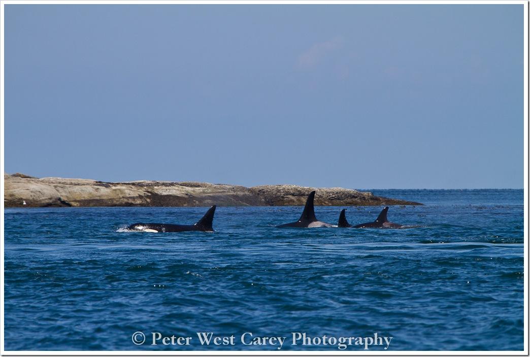 orca-pod-san-juan-islands