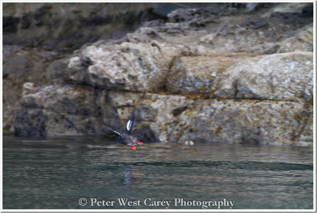 red-footed-booby-san-juan-islands