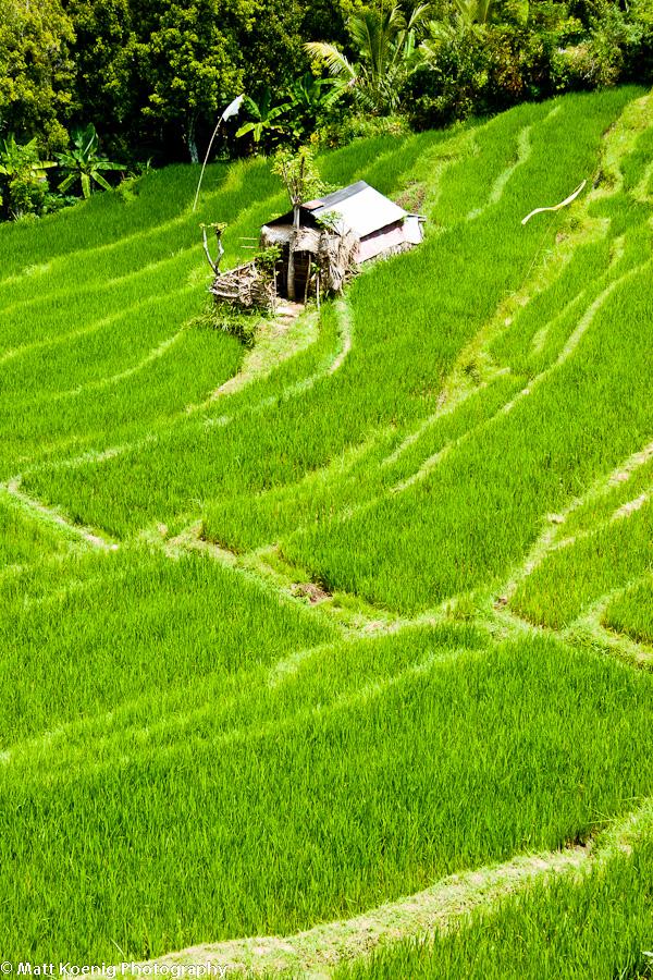Rice Terrace - Bali