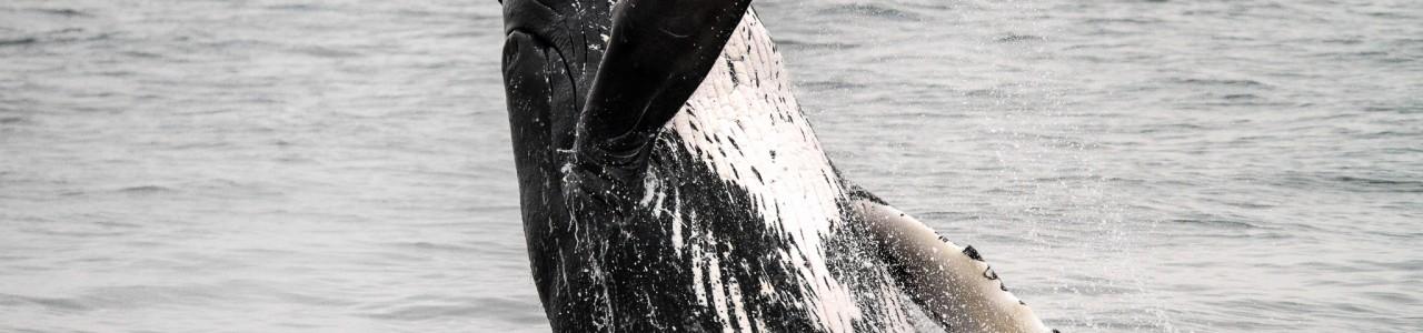 Breaching Humpback Whale (Megaptera novaeangliae), Alaska, USA