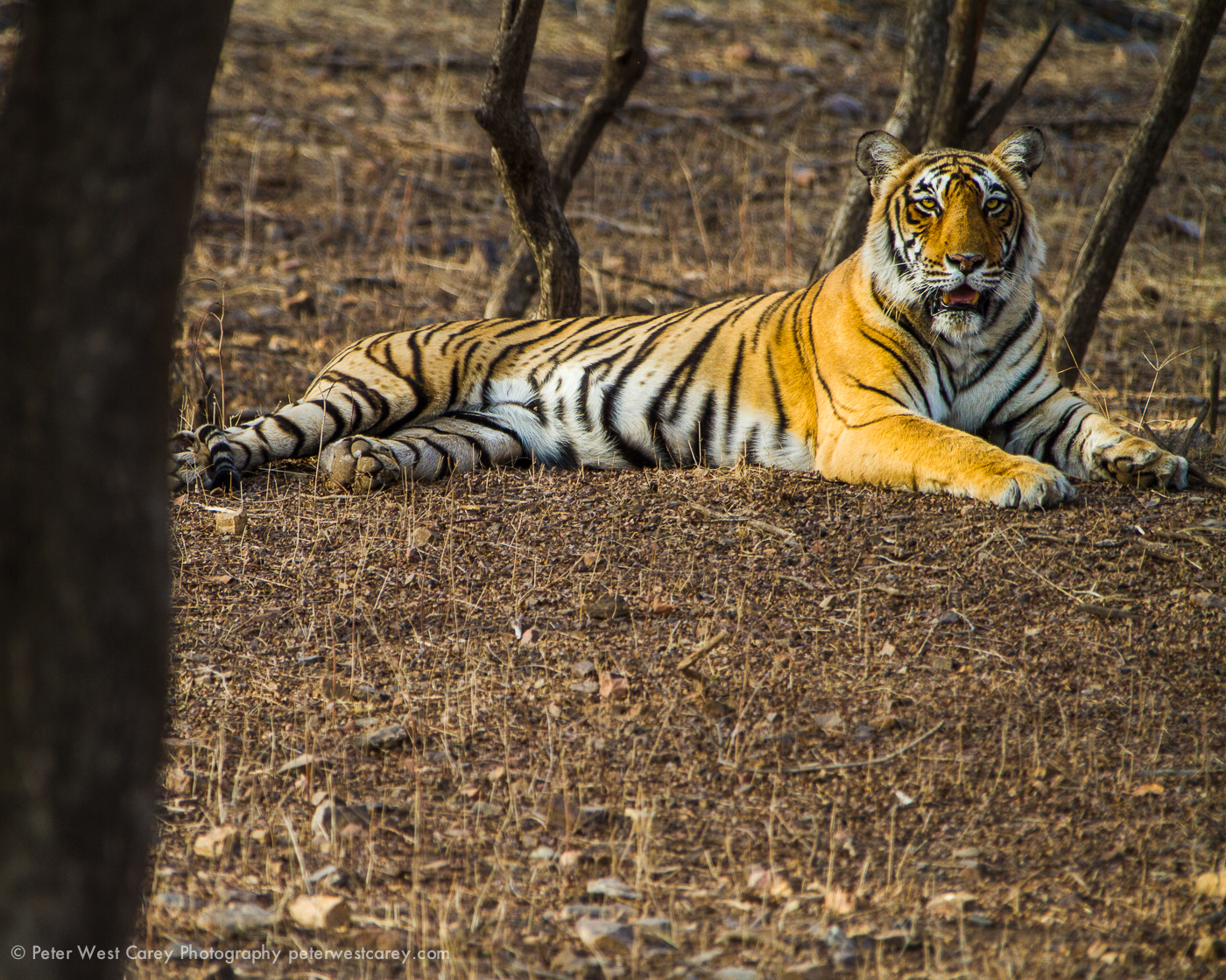 Resting Tiger, India