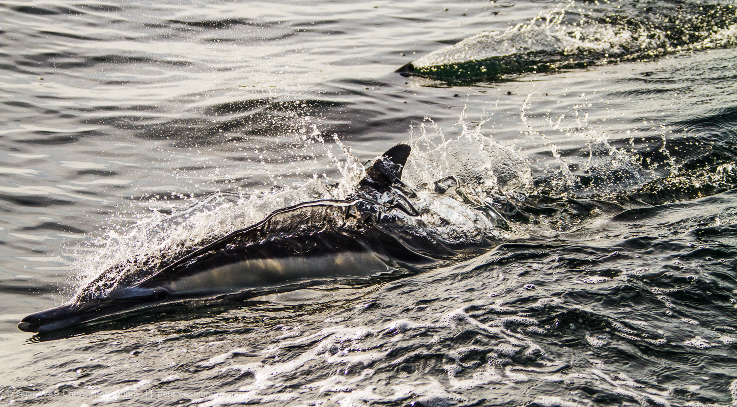 Bottlenose Dolphins (Tursiops truncatus) Breaking The Surface, C