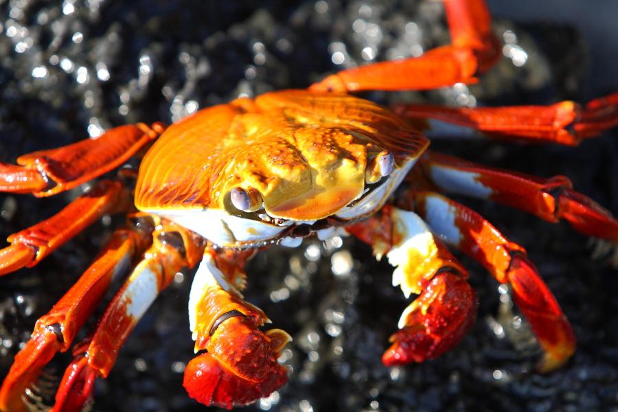 galapagos crab nov 2012