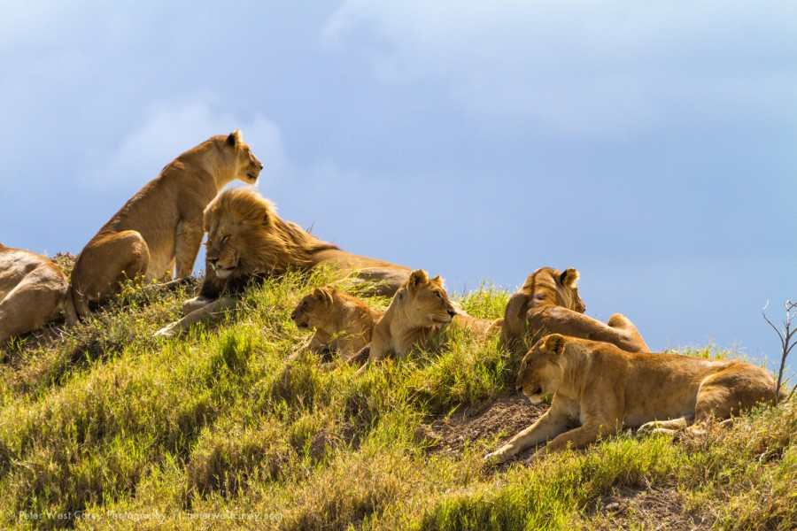 Wild Lions (Panthera leo) On A Knoll, Serengeti National Park, T