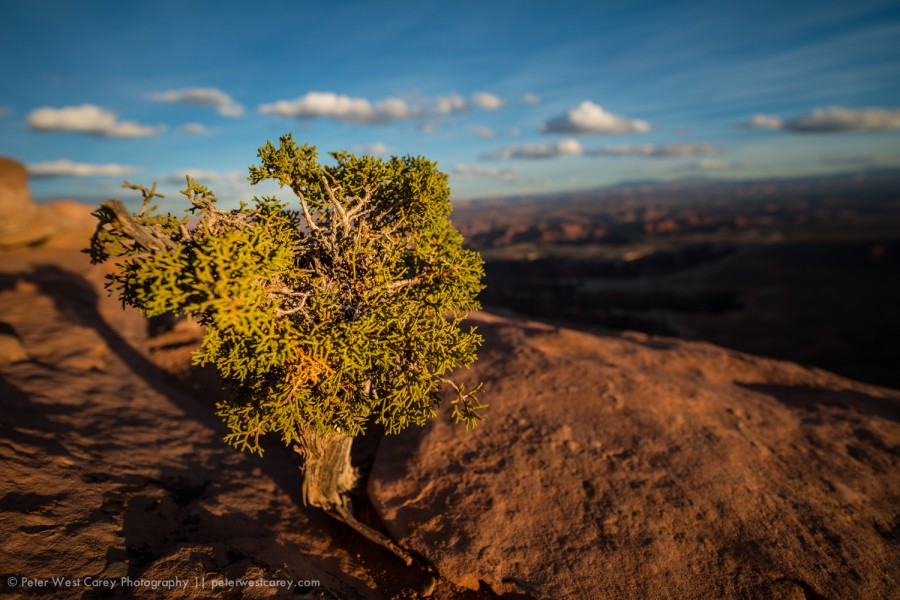 Utah Juniper Tree (Juniperous osteosperma) On The Edge Of Canyon