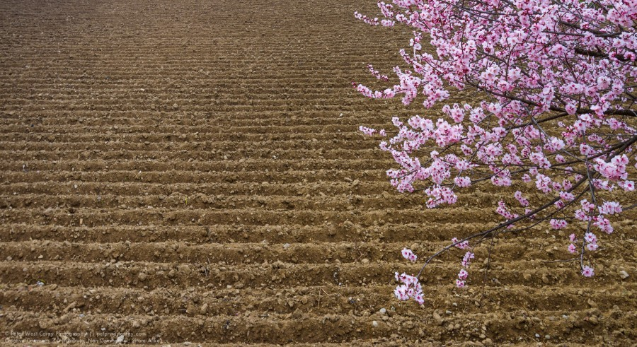 Blossoms And Plowed Field, Jakar, Bhutan, Asia