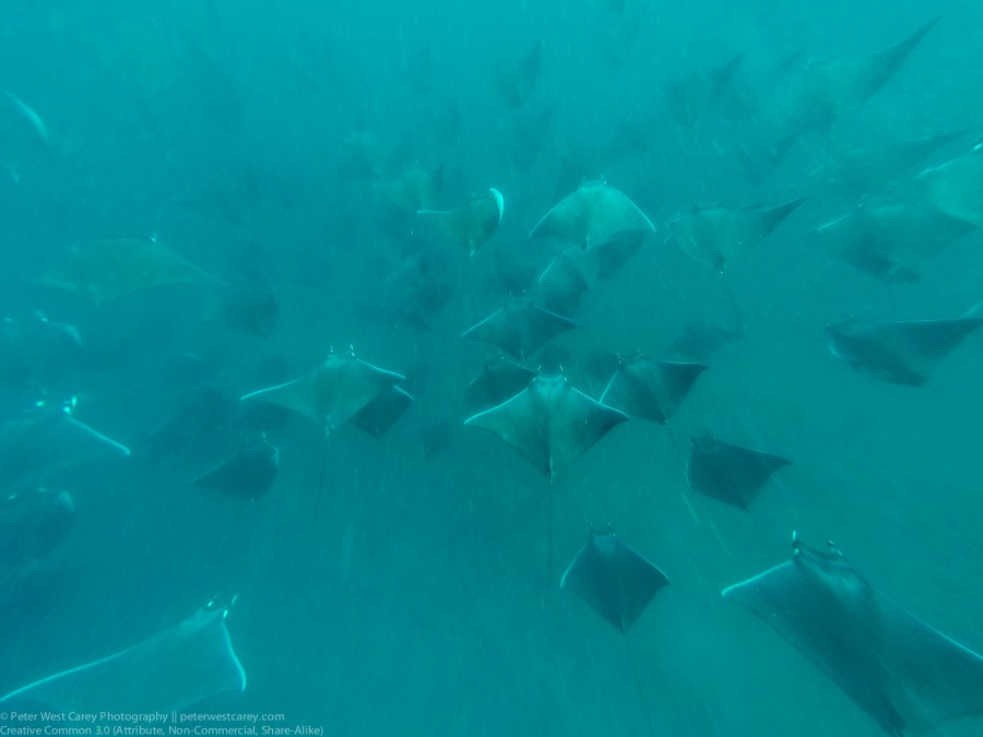 Mobula Rays In Formation, Gulf Of California, Baja California Su