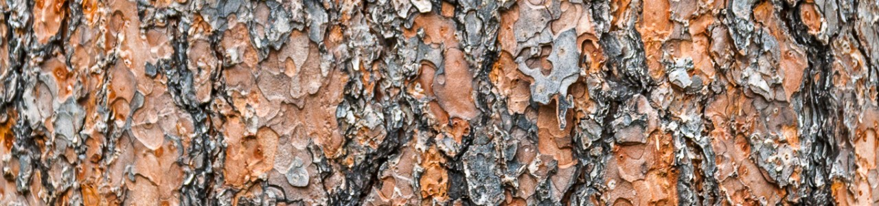 Ponderosa Pine (Pinus ponderosa) Bark Detail, Devils Tower Natio