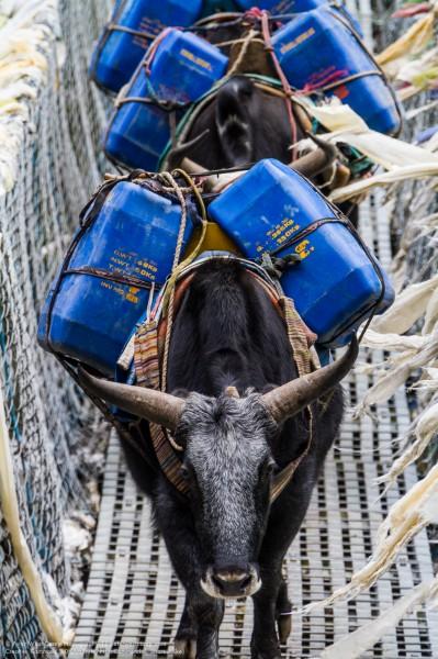 Dzokyos With Loads Of Kerosene, Solukhumbu, Nepali Himalayas, Ne