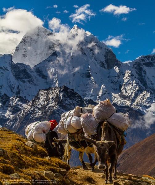 Dzokyos and Kantega, Solukhumbu, Nepal, Asia